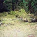 Forest Mosses, Haida Gwaii, BC