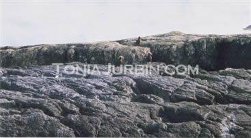 Westcoast Puffins, Flat Top Rock, Haida Gwaii, BC QCI, BC