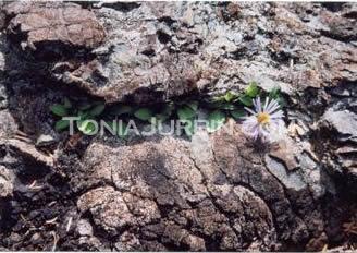 Single Flower, Haida Gwaii, BC