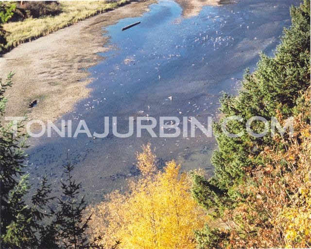 Salmon Returning to Harrison River, BC
