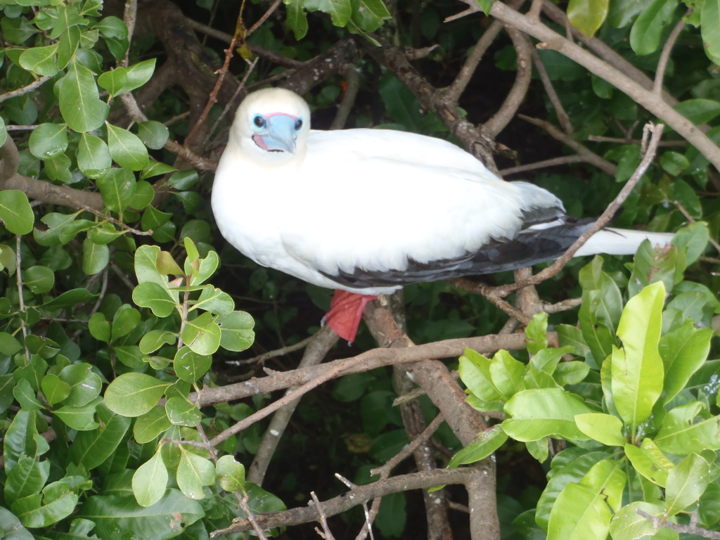 Red Footed Booble, Lighthouse Reef, Belize